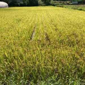 お米作り・稲霊(いなだま)