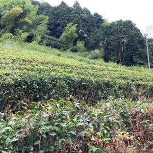 お茶の管理・茶間の草刈り