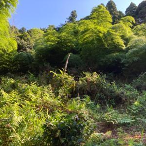 竹林の上の竹切りと草刈り7/22(画像のみ)