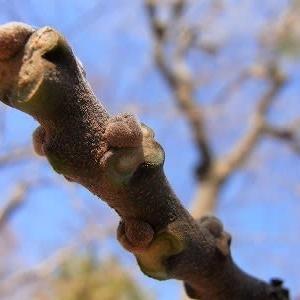 センダン(栴檀)の冬芽