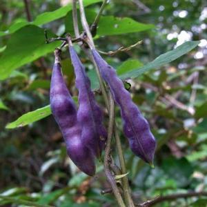ノササゲ(野大角豆)の実