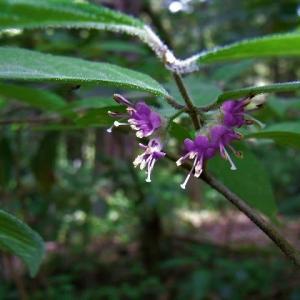 ヤブムラサキ(藪紫)