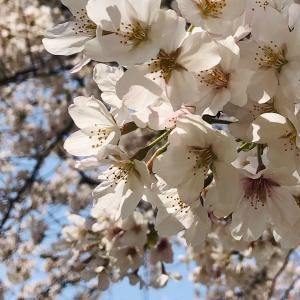 お散歩の桜