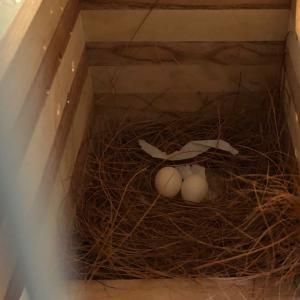 我が家の文鳥の卵と、お久しぶりのコザクラ&セキセイさん、