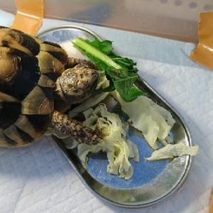 ギリシャリクガメ、小松菜を食べた