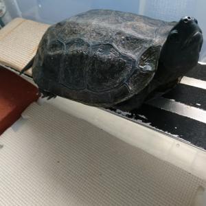 クサガメ、水かびのため強制的に乾燥中