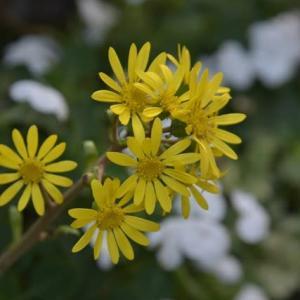 11月の庭はイエローが素敵・・・「ツワブキ」&「ホソバヒイラギナンテン」