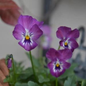交配したビオラたちが 開花してきました♪~