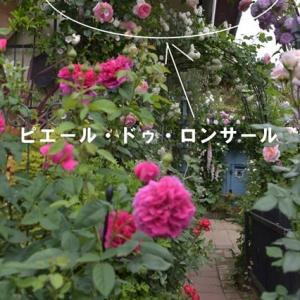 今冬のつるバラの誘因剪定は、「ピエール・ドゥ・ロンサール」から