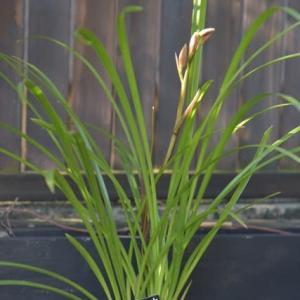 春のお庭用お買い物・・・春蘭・ネモフィラ・斑入りのハラン