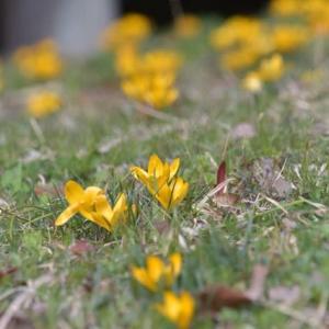春のイエローが素敵でした♪「クロッカス」「サンシュユ」「蝋梅」・・・期待以上に素敵だった 2月下旬の馬見丘陵公園の③