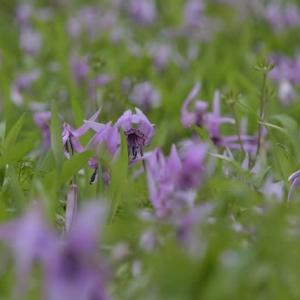 「カタクリの花」の大群生に会いたくて 奈良の山里へ(宇陀市)