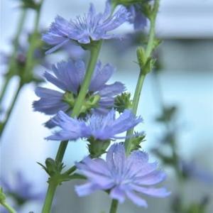思い出の「チコリのブルーの花」に再会♪
