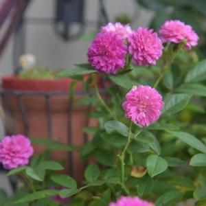 小さな庭で重宝している香りのミニバラ「スイートチャリオット」