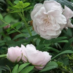 愛しのハマナス系のバラたちと 真夏の庭