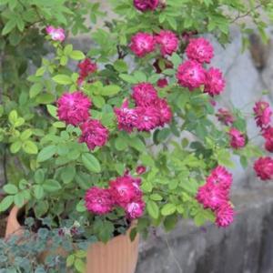 一鉢でも 花盛り♪・・・「バーガンディ・アイスバーグ」など