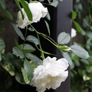 樹齢20年近いバラ「アルベリック・バルビエ」の蘇りメンテナンス