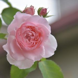 咲いてきた「二番花バラ」&色づいてきた「秋色紫陽花」・・・「キャサリン・モーリー」「ラ・フランス」