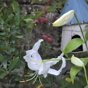 実生のカノコユリ&秋の気配感じる 8月下旬の庭
