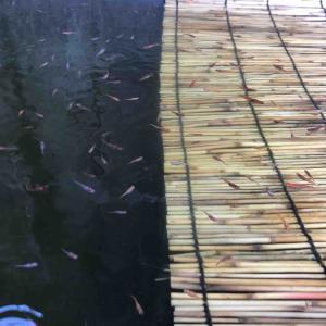 三色錦メダカの稚魚に不思議な色が…。