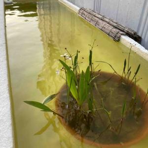 メダカライフ!季節の移り変わりを水生植物が教えてくれる^ ^