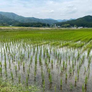 お米作りを楽しもう! ヒエとの戦い💦