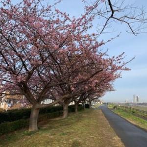 季節外れの暖かさ。暖冬なんだな。河津桜も思わずほころぶ
