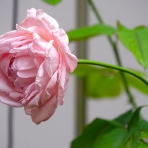 癒しのバラ