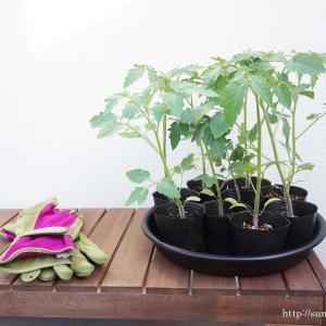 + 屋上菜園化計画〜トマトの植え替え +