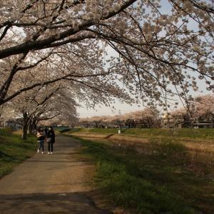 草生津川の桜が見頃に~!