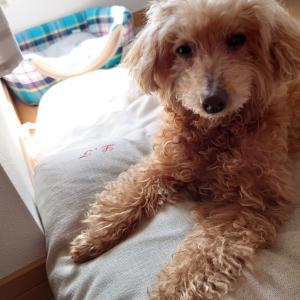 愛犬への鍼治療18&19回目