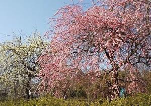 大和民俗公園の梅が見頃