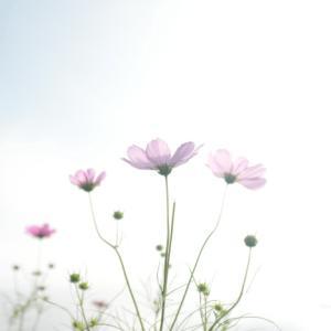 コスモスの咲く季節に