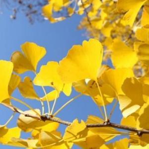 樹齢1400年の銀杏の木がこちら!ヤバすぎwwwww