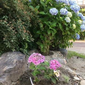 お宮さまの紫陽花