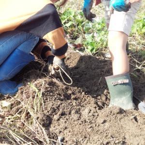 秋の味覚 さつまいも掘りとイナゴ佃煮を作る