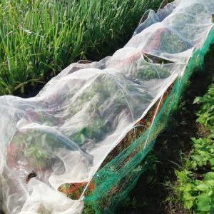 夏野菜植え付けと小鮎のアヒージョ