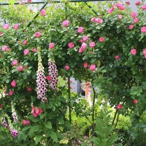 アンジェラがかなり咲きだした