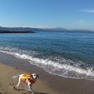 秋の海で遊ぶセッター。