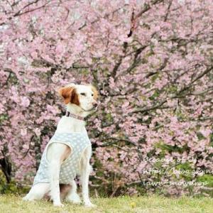撮れたて桜2019。