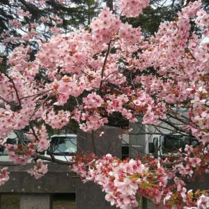 豆様、桜を見物す 17