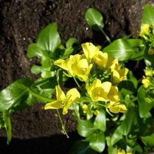 ビックリ、これはアスパラ菜の花だった・・