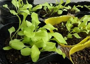 今年はお金をかけずに野菜と花を。これも節約に・・