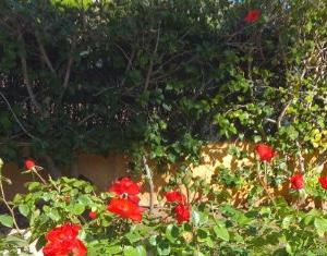 咲き乱れるミニ薔薇