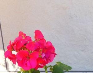 大人のフューシャピンク色