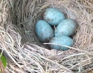 青い卵はどこにある