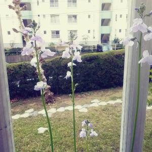 雑草を育てる 「ベランダに咲く草花」