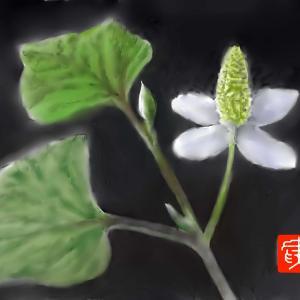 植物画「ドクダミ」