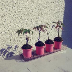 ミニ盆栽 「モミジの超ミニ盆栽」