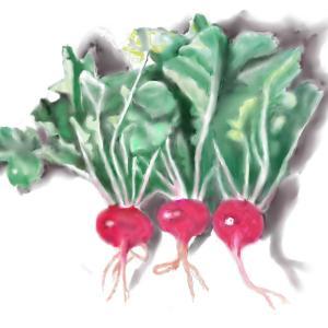 野菜 「ラディッシュ」